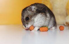 Lovely Hamster: Espécie: Hamster Anão Russo