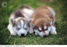 Siberian Huskies...someday <3