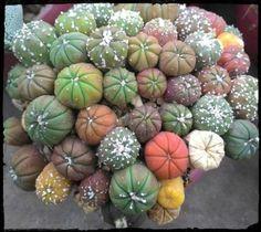 Kalanchoe humilis rare cacti mesembs