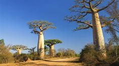 Incredible Centennial Baobab trees from Madagascar Places Around The World, Around The Worlds, Safari, Madagascar Travel, Baobab Tree, Travel News, Travel List, Turquoise Water, Travel Destinations