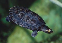 Arrau River Turtle (Podocnemis expansa)