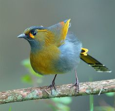 Steer's Liocichla, taken at DaSyueShan, Taichung County, TAIWAN #56 藪鳥走木 by John, via Flickr