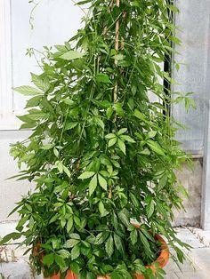 Gynostemma pentaphyllum - Jiaogulan, Kraut der Unsterblichkeit