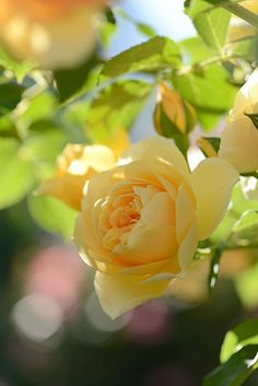 Lovely yellow rose                                                                                                                                                                                 More
