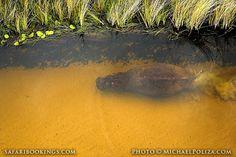 Diving #hippo @ Okavango Delta in #Botswana. See #Okavango travel guide: http://www.safaribookings.com/okavango
