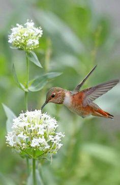 ......colibrí ⭐⭐⭐⭐