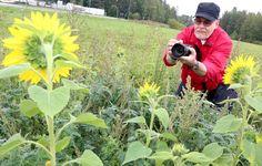 Riihimäellä käy jälleen kutsu auringonkukkapelloille. Kaupungin puistotyönjohtajan Jouni Sunin mukaan pellot alkavat olla niin hyvin kukassa, että poimijat voivat tulla. Poimintamääräksi suositellaan kymmentä kukkaa poimijaa kohden. Kuva: Ari Peltonen, Aamuposti