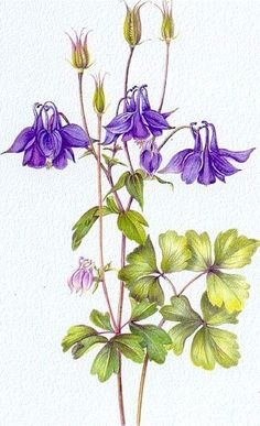 """Botanical Purple Columbine from """"Botanical Illustration"""" by Valerie Oxley - published by the Crowood Press, 2008 Vintage Botanical Prints, Botanical Drawings, Flower Drawings, Botanical Flowers, Botanical Art, Watercolor Plants, Watercolor Art, Floral Illustrations, Illustration Art"""