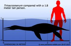 Trinacromerum - Looking like a 'four-flippered penguin, Trinacromerum could swim very fast. It fed on small fish, and grew to about 3 meters (10 feet) long.