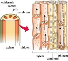 Xylem and phloem. Sieve tubes in phloem lacks nuclei because it is easier for translocation of food- strands of cytoplasm run through the phloem. Biology Textbook, Biology Lessons, Ap Biology, Science Biology, Teaching Biology, Life Science, Igcse Biology, Study Biology, Science Projects
