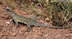 Common Lesser Earless Lizard