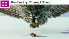 Post with 0 votes and 510 views. Great Grey Owl (Strix nebulosa) and unsuspecting prey by Tom Samuelson Beautiful Owl, Animals Beautiful, Beautiful Images, Owl Bird, Pet Birds, Strix Nebulosa, Photo Animaliere, Food Photo, Big Photo