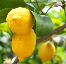 Buy pure Lemon oil along with other therapeutic grade essential oils from Bulk Apothecary.  We have some of the best prices online for pure Lemon essential oil.