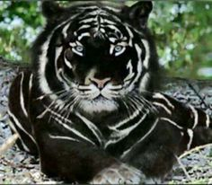 Black Tiger is the most Majestic cat in the worldYou can find Wild cats and more on our website.Black Tiger is the most Majestic cat in the world Unusual Animals, Majestic Animals, Rare Animals, Animals And Pets, Black Animals, Animals In The Wild, Exotic Animals, Colorful Animals, Cute Funny Animals