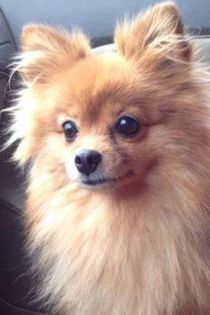 The most beautiful Pomeranian! ❤❤