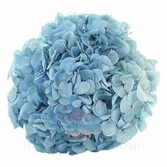 Hoa cẩm tú cầu tươi ướp khô