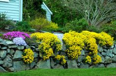 """Aurinia saxatilis """"basket of gold.""""  Perennial.  Bright yellow color is amazing in the Spring garden along with bulbs. Reseeds and spreads so you get a lot of bang for your buck.  Great plant!"""