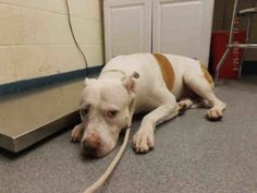 SAFE 7/30/16 ~ BRUCE – A1082686 - male, white/brown, AM Pit Bull Ter mix, 4 yrs - Intake Date 07/25/16, From NY 10466, DueOut Date 07/25/16