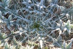 L1M2AP3: patterns in nature. Frozen thistle. focus on center of thistle. handheld  f/11 1/13s ISO 200 @ 50mm
