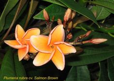 Plumeria 'Salmon Brown'