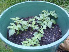 Kartoffelturm - Kartoffeln anbauen und pflanzen auf Balkon & Terrasse
