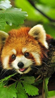 animal-red-panda-cute by danielle Red Panda Cute, Panda Love, Panda Bear, Panda Drawing, Baby Puppies, Cute Baby Animals, Belle Photo, Animal Photography, Animals Beautiful