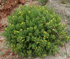 vJoina-das-areias (Ononis ramosissima L.)