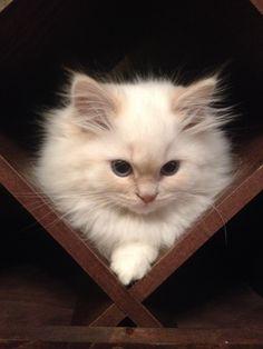 Cat Beauty; Brown Black White