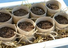 Seed starting trays from paper towel rolls. - great way to transplant seedlings w/o stunting root growth