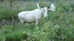 A Rare All-White Moose Has Been Caught On Camera In Sweden