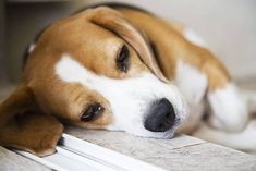 I'm just waiting for my owner to come home...  Click on this image to find even more cute pictures of #Beagle #dogs