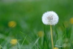 Gyermekláncfű: erre a 11 dologra jó ez a gyógynövény! - Netamin Webshop Dandelion, Flowers, Plants, Garden, Garten, Dandelions, Planters, Royal Icing Flowers, Gardening
