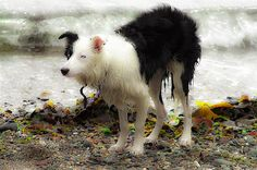 Picture by DalSilvaDigital.    Collie on the beach