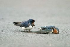 Did you know Swallows mate for life?  See for the whole story:  http://beingstray.com/animal-stories/swallow