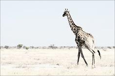 Giraffe op de Afrikaanse savanne van Namibië.