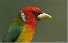 Male RED-HEADED BARBET (Eubucco bourcierii) © Raymond J Barlow