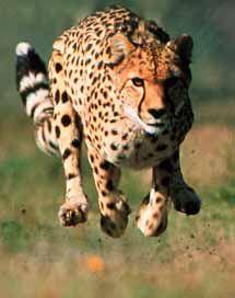 running   ... : Cheetah Running Pictures, Cheetah Running Photos - Animals Zoo Park