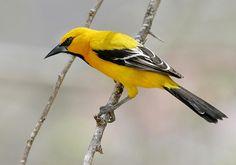 Gepind vanaf vroegevogels.vara.nl - Gele Troepiaal