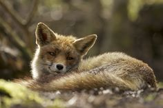 Red Fox by Laurens De Haas on 500px