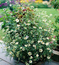 Top Butterfly Container Garden Ideas: Pick Easy Plants: A. Zinnia angustifolia 'Crystal White' -- 3;  B. Heliotrope (Heliotropium 'Marine') -- 2;  C. Coleus (Solenostemon 'Brilliancy') -- 1