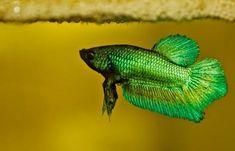 green male betta under bubblenest with fry