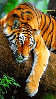Chillaxing Tiger by Miliani Rachid. Les tigres étaient estimés à 100 000 au… Nature Animals, Animals And Pets, Baby Animals, Cute Animals, Wild Animals, Animals Images, Beautiful Cats, Animals Beautiful, Stunningly Beautiful