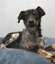 CHI CHI is an adoptable Australian Cattle Dog (Blue Heeler) Dog in Nashville, TN.  Breed: Female Tricolor Australian Cattle Dog Mix, 15 lbs Age: 7 months About Me: I am the prime example of why you sh...