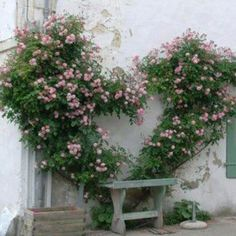 Roses trained into the shape of a heart, Portes de Ré, France
