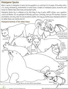 sumatran tiger endangered animal poster teaching resources teach starter science teaching. Black Bedroom Furniture Sets. Home Design Ideas