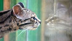 Who dat?!    I thought I saw a puddy cat.... by law_keven, via Flickr
