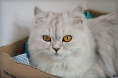 Sushi on www.yummypets.com Cat, kitten, kitty, meow, purr, animals, pets, pussycat, white cat, Yummypets
