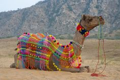 Brightly decorated camel, Pushkar, Rajasthan, India. Photographic Print by Inger Hogstrom at AllPosters.com