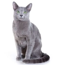 Cat: Russian Blue