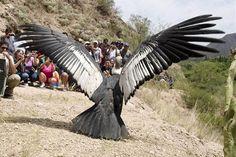 Giant Animals, Rare Animals, Unique Animals, Animals And Pets, Funny Animals, Raptor Bird Of Prey, Birds Of Prey, Beautiful Birds, Animals Beautiful